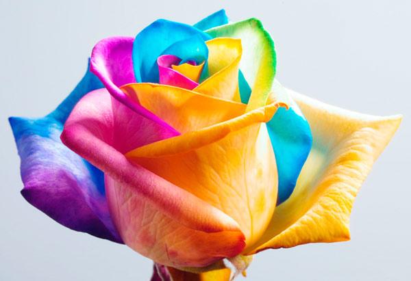 Как да си направим рози с цветовете на дъгата